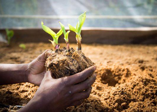 MercyShips jordbruksprogram banantreplantering
