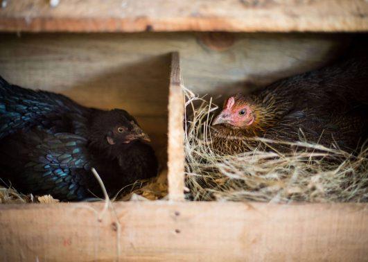jordbruksavdelningen producerar kycklingar